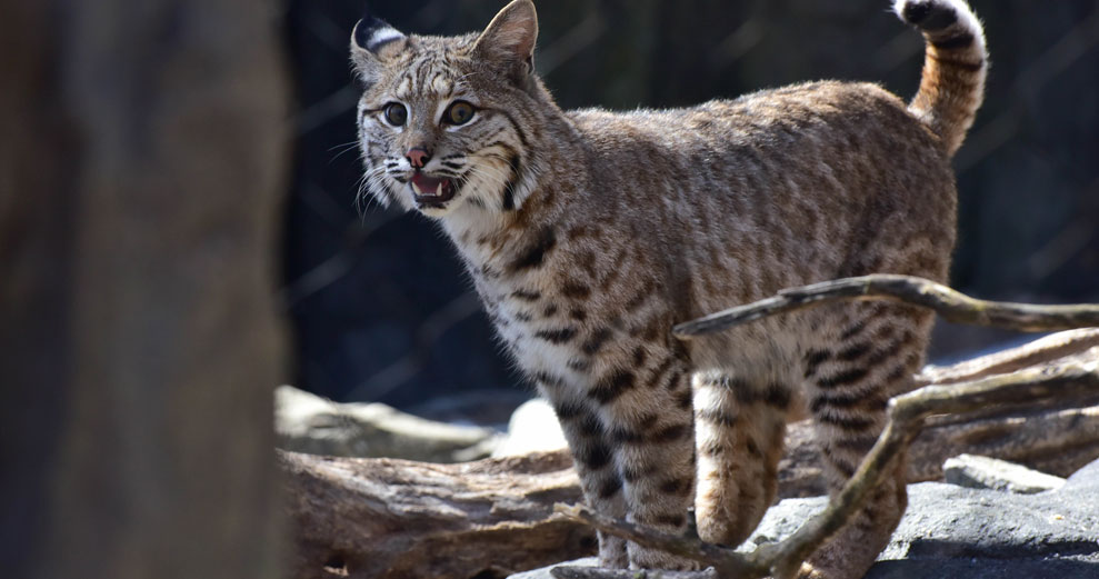 Wild about Bobcats